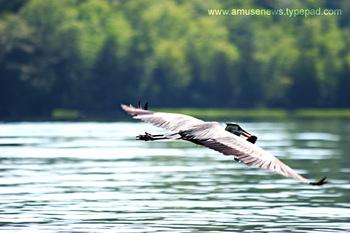 Blue_heron