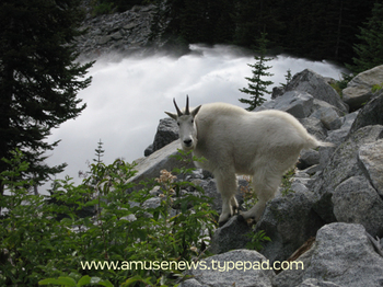 A_mountain_goat